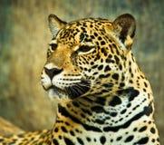 Jaguar Royalty Free Stock Photography