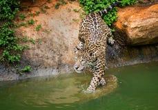 the Jaguar  living on the edge . Stock Photo