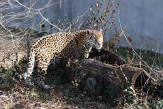 Jaguar in log Royalty Free Stock Image