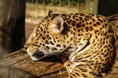 Jaguar looking Royalty Free Stock Photo