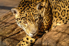 Jaguar looking Royalty Free Stock Photos