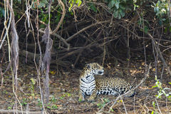 Jaguar Looking over Shoulder beside Vines and Leaf Litter Stock Images