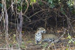 Jaguar Looking over Shoulder beside Vines and Leaf Litter Stock Images