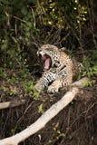 Jaguar lying beside dead logs yawns widely Stock Image