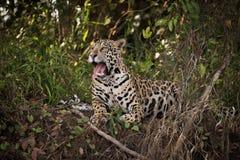 Jaguar lying down on river bank yawns Stock Photo
