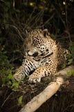 Jaguar lying beside log on earth bank Royalty Free Stock Photo