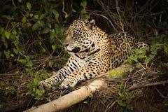 Jaguar lying beside log in leafy bushes Royalty Free Stock Images