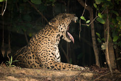 Jaguar lying in shade of trees yawning Royalty Free Stock Photo