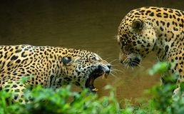 Jaguar malte in doppelter Cat Fight lizenzfreie stockbilder