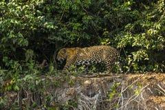 Jaguar masculino salvaje que camina a lo largo del borde del Riverbank de la selva Imágenes de archivo libres de regalías