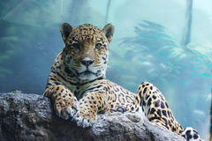 Jaguar in Moscow zoo. Russian Federation Stock Images