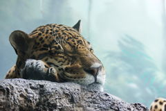 Jaguar in Moscow zoo. Russian Federation Stock Photo