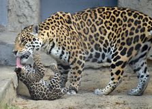 Jaguar mother Stock Photography