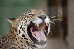 Jaguar Mouth Open Royalty Free Stock Photos