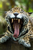 Jaguar mouth open showing teeth closeup in jungle Stock Image