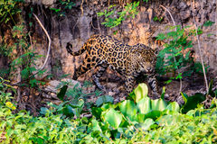 Jaguar on the move Royalty Free Stock Image