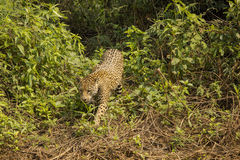 Jaguar Moving through Bushes Stock Photography