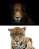 Jaguar na czarny i biały tle Zdjęcie Stock