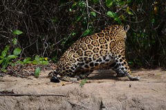 Jaguar na natureza Fotografia de Stock Royalty Free