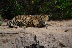 Jaguar na natureza Fotografia de Stock