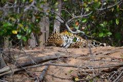 Jaguar na natureza Imagens de Stock