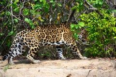 Jaguar na natureza Imagem de Stock Royalty Free