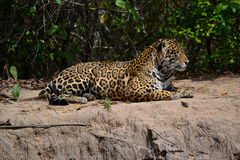 Jaguar na natureza Fotos de Stock