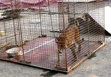Jaguar na pilha Imagem de Stock Royalty Free