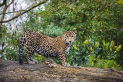 Jaguar na selva Imagens de Stock