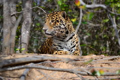 Jaguar in nature Royalty Free Stock Photo