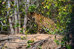 Jaguar in nature Royalty Free Stock Photos