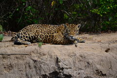 Jaguar in nature Stock Photography