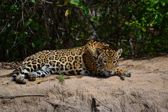 Jaguar in nature Stock Images