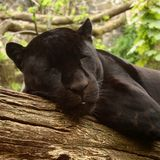 Jaguar negro Fotografía de archivo libre de regalías