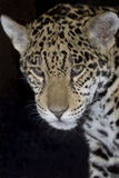 Jaguar in the night Royalty Free Stock Images