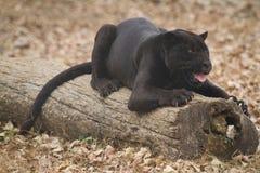 Jaguar noir Photographie stock libre de droits