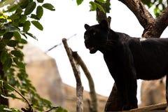 Jaguar noir Photo libre de droits