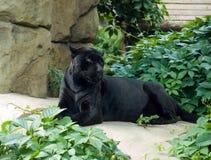 Jaguar (onca de Panthera) Images libres de droits