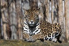 Jaguar, onca de Panthera est une bête sud-américaine énorme Images libres de droits