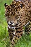 Jaguar - onca de Panthera - le Brésil Photographie stock libre de droits