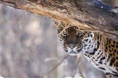Jaguar (onca del Panthera) Fotografía de archivo