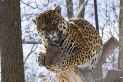 Jaguar (onca del Panthera) Foto de archivo libre de regalías