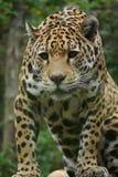 Jaguar - onca del Panthera Fotografía de archivo