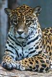 Jaguar - onca del Panthera Imágenes de archivo libres de regalías