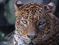 Jaguar, onca del Panthera, gato grande fotos de archivo