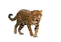 Jaguar (onca della panthera) isolato Immagine Stock Libera da Diritti