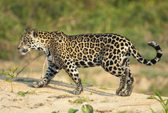 Jaguar, onca do Panthera Foto de Stock Royalty Free