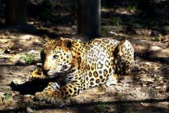 A resting Jaguar . royalty free stock photos