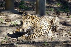A resting Jaguar . stock images