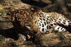 A close of resting Jaguar . Jaguar is one the biggest cat in the world after lion and tiger. It is primarily inhabits the tropical rainforest of Central and stock photo